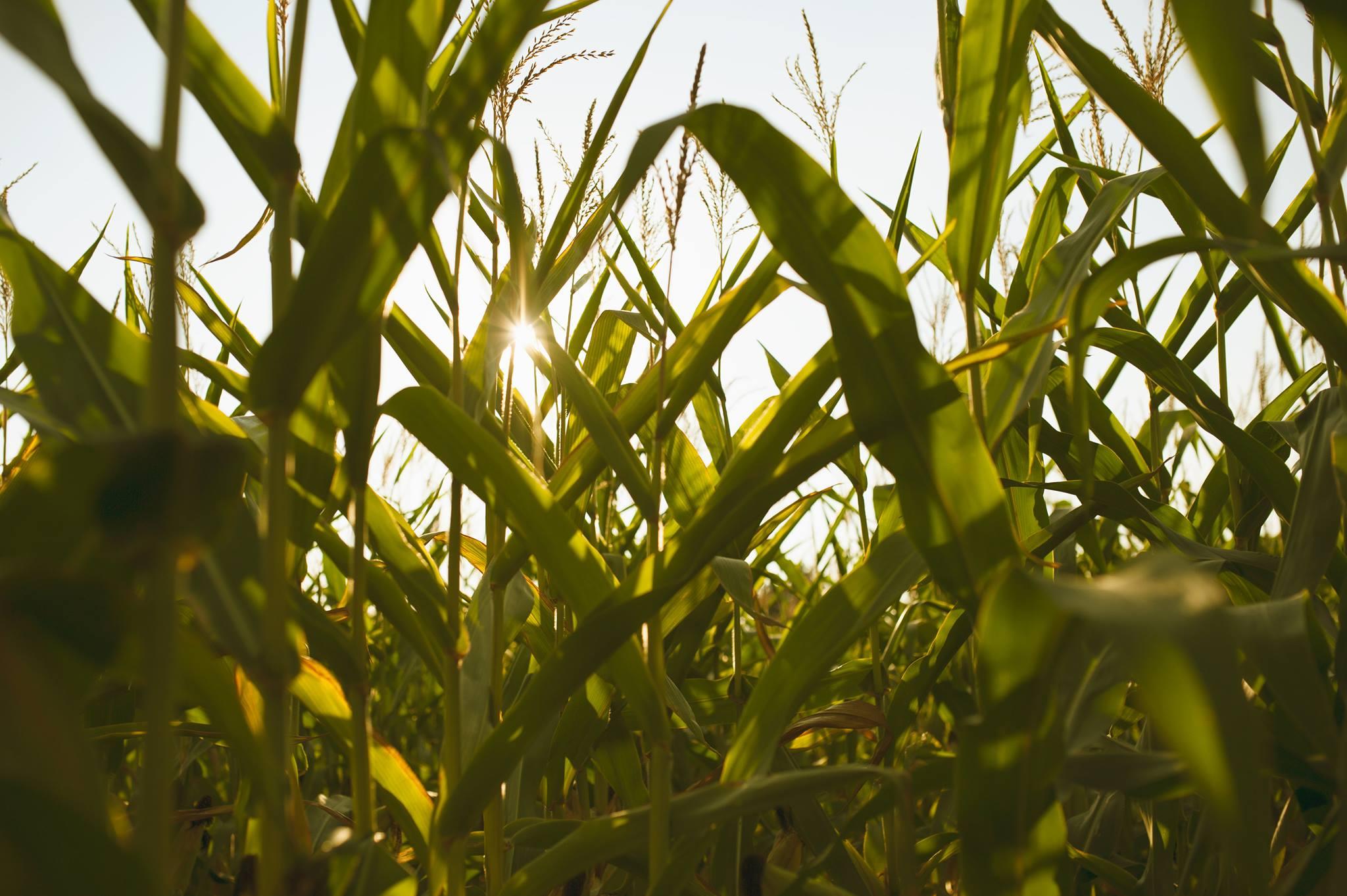 Coming Soon 2020 Corn Maze